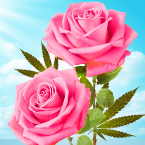 cannabis rose scent