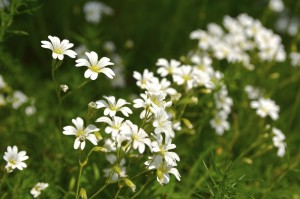 uses of chickweed
