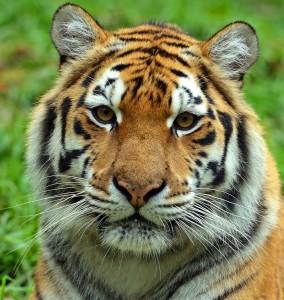 tiger stripe soap recipe